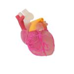 Stratasys PolyJet Heart